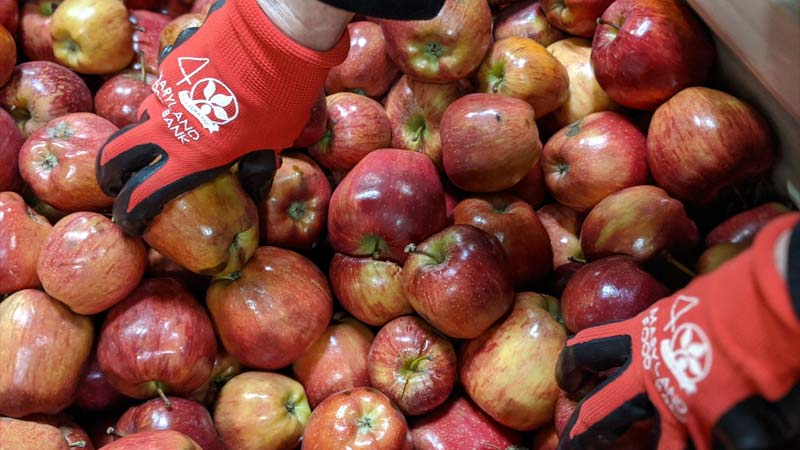 gloved hands picking apples