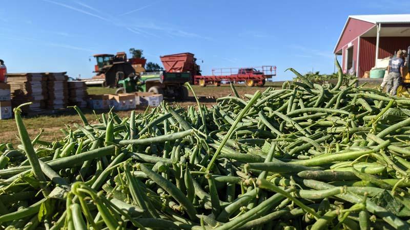 green beans on a farm